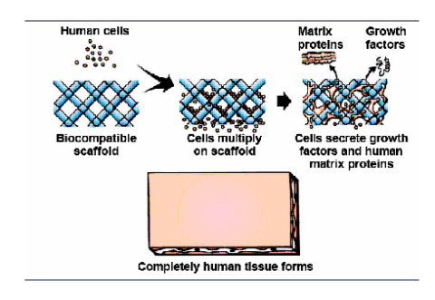 Technology - Tissue Engineering Of Cartilage - Part 1